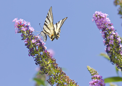 Schwalbenschwanz - Schmetterling